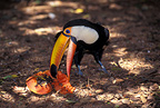 Toco Toucan eating a fruit, Brazil
