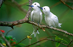 Pair of common White Terns, Bird Island, Seychelles