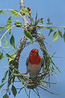 Red-headed Weaver building its nest, South Africa