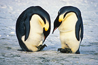 Couple of Emperor Penguins with an egg, Antarctica