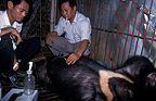 Extracting bile from an Asiatic black bear Vietnam