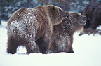 Grizzly bears mating, Yellowstone NP, USA