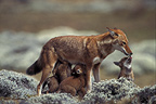 Young Ethiopian wolves (Simian jackals) suckling, Ethiopia