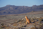 Ethiopian wolf (Simian jackal) sitting in the Web Valley, Bale NP, Ethiopia