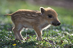 Wild boar piglet urinating,Europe