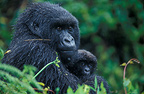 Female mountain gorilla with offspring in her arms, Rwanda