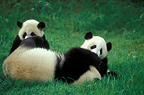 Young Giant Pandas playing with an adult, Chengdu Panda Base, China