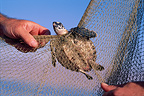Young hawksbill sea turtle caught in a fishing net, Red Sea