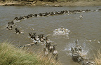 Wildebeest and zebra crossing the Mara River during migration, Kenya