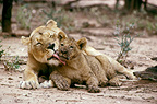 African Lioness grooming her cub, Namibia