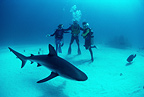 Carribean reef shark and divers, Bahamas