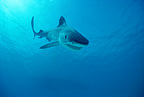 Tiger shark displaying aggressive behaviour, Red Sea