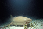Nurse shark, Bimini, Bahamas, Greater Antilles