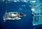 Great white shark with diver filming from a cage, South Australia