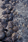 Atlantic horseshoe crabs on a beach, Delaware Bay, USA