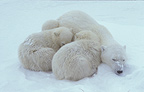 Polar bear and cubs sleeping, Churchill Bay, Canada