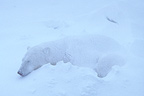 Polar bear sleeping in a blizzard, Canada