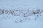 Polar bear sleeping in the snow, Canada