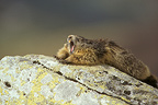 Alpine marmot stretching and yawning, Vanoise NP, France