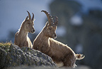 Female Alpine ibex and young, France