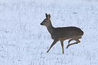 Female Roe Deer running in winter, Vosges, France