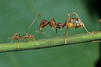 Weaver ants on a stem, Gabon