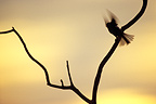 Tit taking flight from a branch at dusk, France