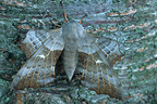Poplar Hawk-moth (Aspen Hawk-moth) on cherry tree bark, France