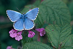 Male Adonis Blue butterfly on a flower, France