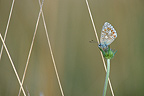 Common Blue butterfly on a flower, France