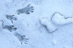 Squirrel footprint in the snow, Queyras, France