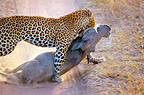 Leopard dragging a Warthog to a tree, Tanzania