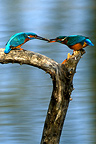 Male Common Kingfisher giving a gift to a female, France