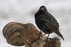 Starling perched on a root in winter, France