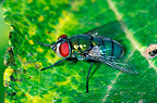 Common greenbottle on a leaf