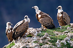 Group of Eurasian Griffon Vultures, Gorges du Tarn, France