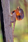 Frill-necked lizard in threat position, Western Australia
