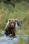 Grizzly bear fishing for salmon in a river, Katmai NP, Alaska