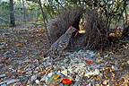 Great Bowerbird in its bower, watching a female, Australia