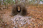 Male Great Bowerbird's bower and decorative stones, Australia
