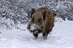 Wild boar in the snow, France