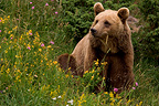 Brown bear in summer, France