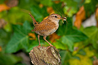 Eurasian Wren with an insect in its beak, France