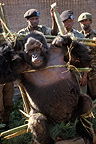 Mountain gorilla killed by guerillas, Rwanda