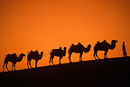 Caravan of Bactrian camels, Gobi Desert, China