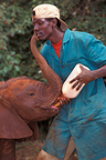 Person bottle-feeding an African elephant calf, Kenya