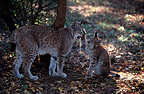 Female Eurasian lynx and 4-month-old cub, Chizé Zoo, France (captive)