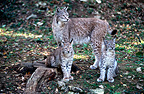 Female Eurasian lynx and 4-month-old cubs, Chizé Zoo, France (captive)