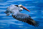 Gal�pagos Brown Pelican in flight, Santiago Island, Gal�pagos