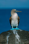 Blue-footed Booby, North Seymour Island, Galápagos